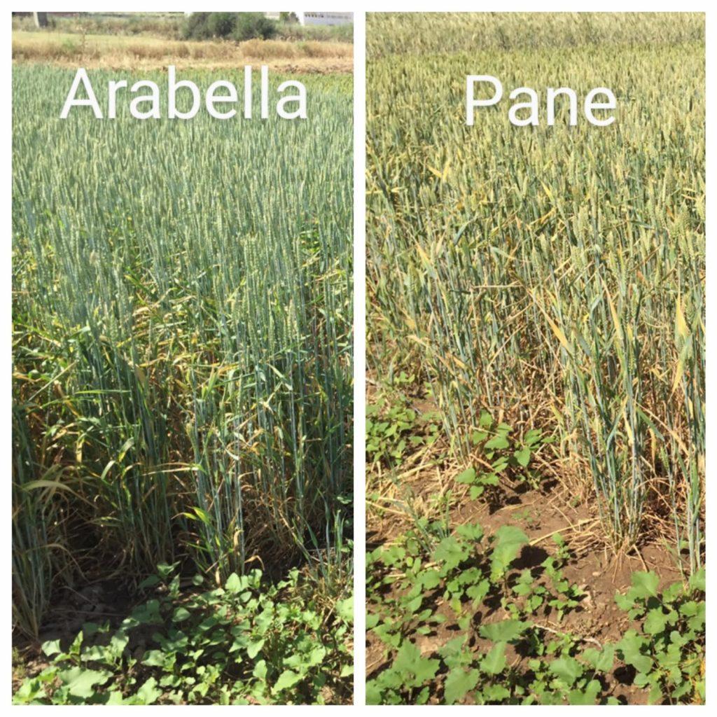 Comparación trigo blando arabella y trigo pane