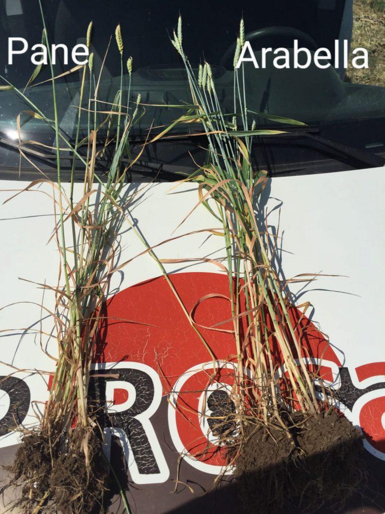 trigo arabella alternativa a trigo pane-247